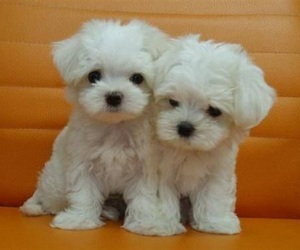 puppy, dogs, and cute image
