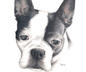 animal, boston terrier, and dog image