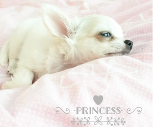 chihuahua, lovely, and pink image