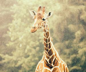 animals, giraffe, and animal photography image
