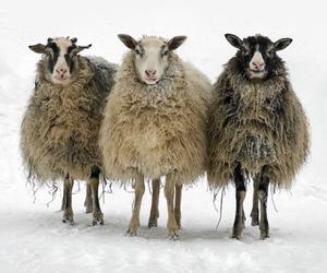 sheep, snow, and wool image
