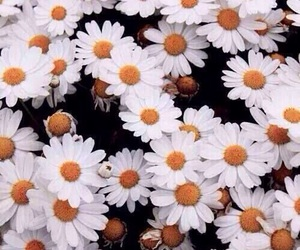 daisy, flowers, and pedals image
