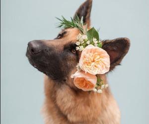 dogs and german shepherd image