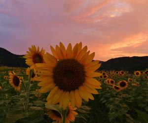 campo, flores, and girassois image