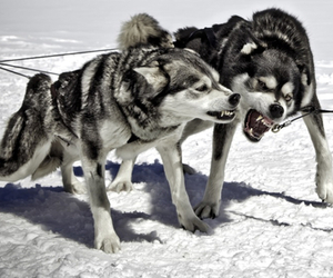 animal, fight, and black and white image