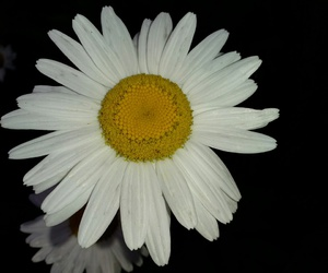daisy and flower image