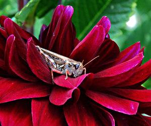 dahlia, grasshopper, and red image