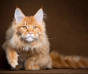art, maine coon, and velvet image