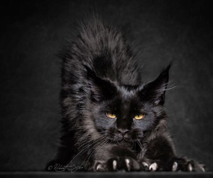 art, aww, and maine coon image
