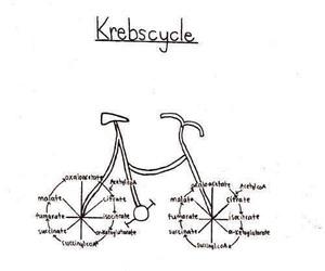 biology and krebs cycle image