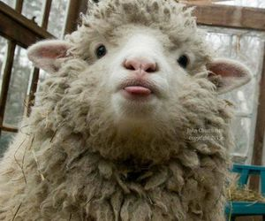 funny, sheep, and silly image