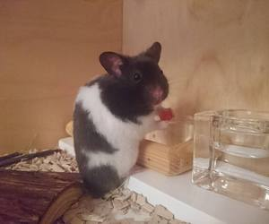 funny, hamster, and cute image
