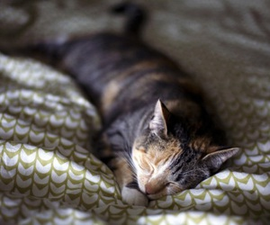 cat, cat photography, and dilute tortoiseshell image