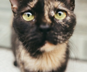 cat, cat photography, and tortoiseshell cat image