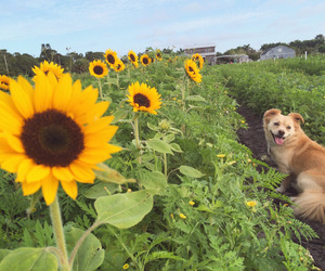 dog, sunflowers, and nature image