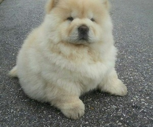 Chow, chow chow, and puppy image