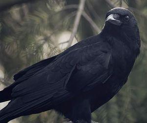bird, black, and crow image