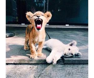 animal, jungle, and tigers image