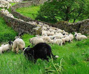 green, stone wall, and sheep image
