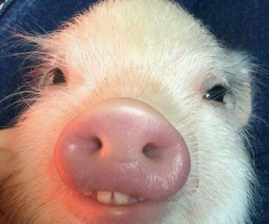 pig, funny, and cute image