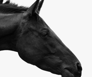 horse, black and white, and curious image