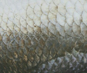mermaid and scales image