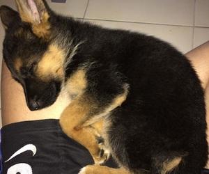 dog, germanshepherd, and bestfriend image