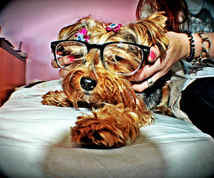 dog, glasses, and yorkshire image