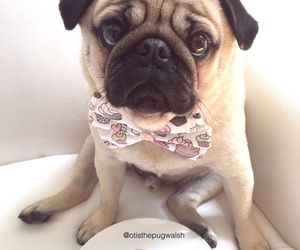 bow tie, pug, and cute image