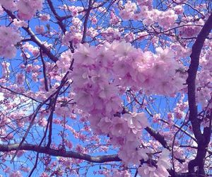 cherry blossoms, nature, and floral image