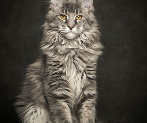 animals, big cat, and main coon image