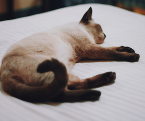 cat, siamese, and cat photography image
