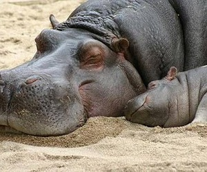 hippo, cute, and animal image