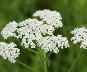 flower, herb, and yarrow image