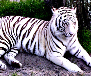 albino, tiger, and animals image