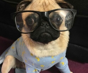 adorable, pug, and animal image