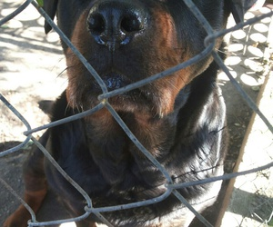 dog, photography, and rottweiler image