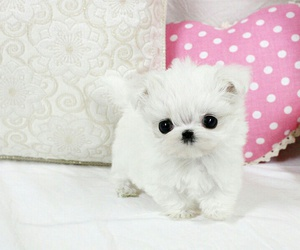 puppy, small, and white image