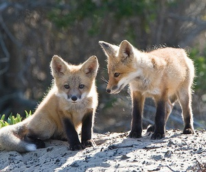 pup, fox, and red fox image