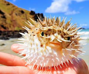 porcupine fish image