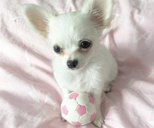 chihuahua, pink, and puppy image