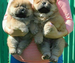 Chow, chow chow, and fluff image