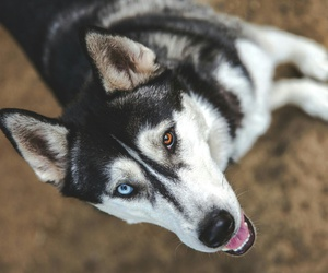 animal, dog, and eyes image