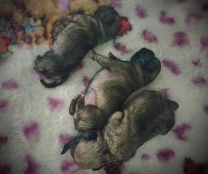 dog, Filhotes, and pug image