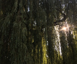 nature, park, and willow tree image