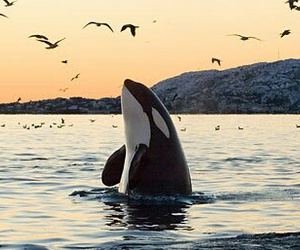 sea, orca, and ocean image