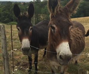 animal, donkeys, and couple image