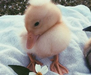 cute, duck, and flowers image