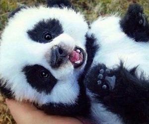 fofo, panda, and love image