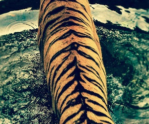 tiger, wild, and tiger stripes image